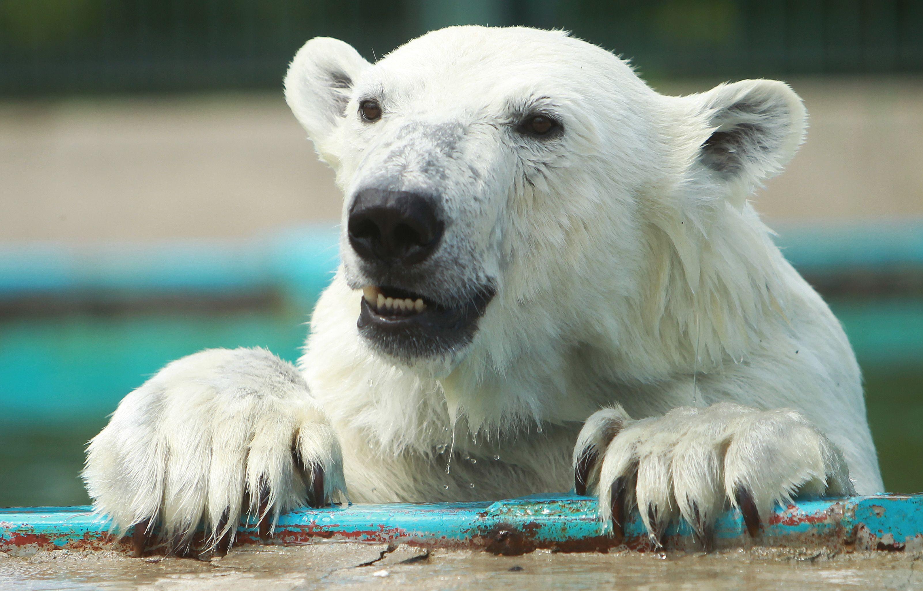 Медведи Московского зоопарка получили «мороженое»