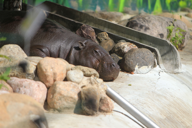 Московский зоопарк перевел бегемотиху Ксюшу в открытый вольер