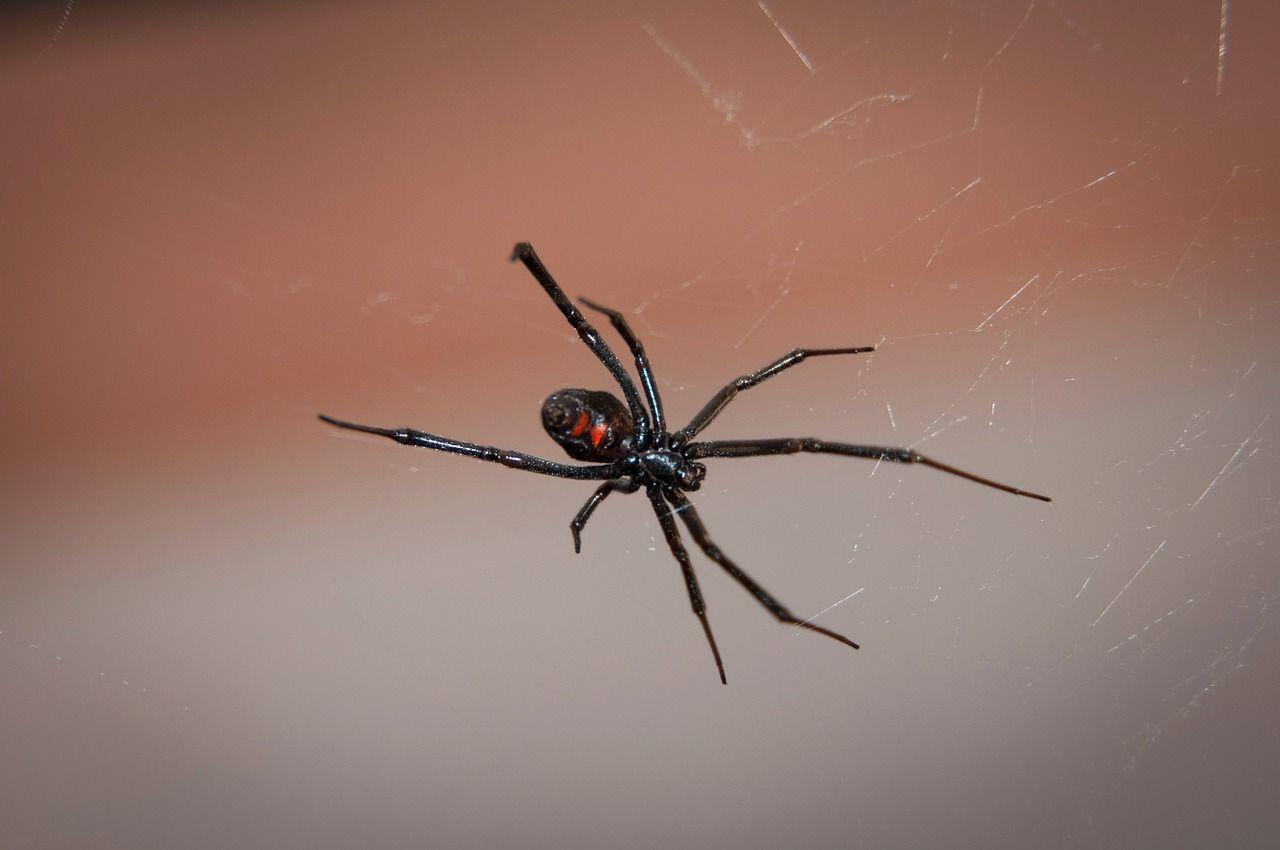 Ядовитые пауки ньюкасл