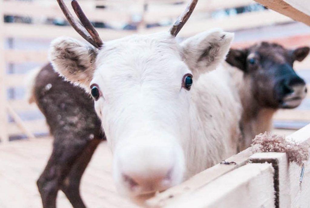 Северных оленей привезут в «Коломенское». Фото: сайт мэра Москвы