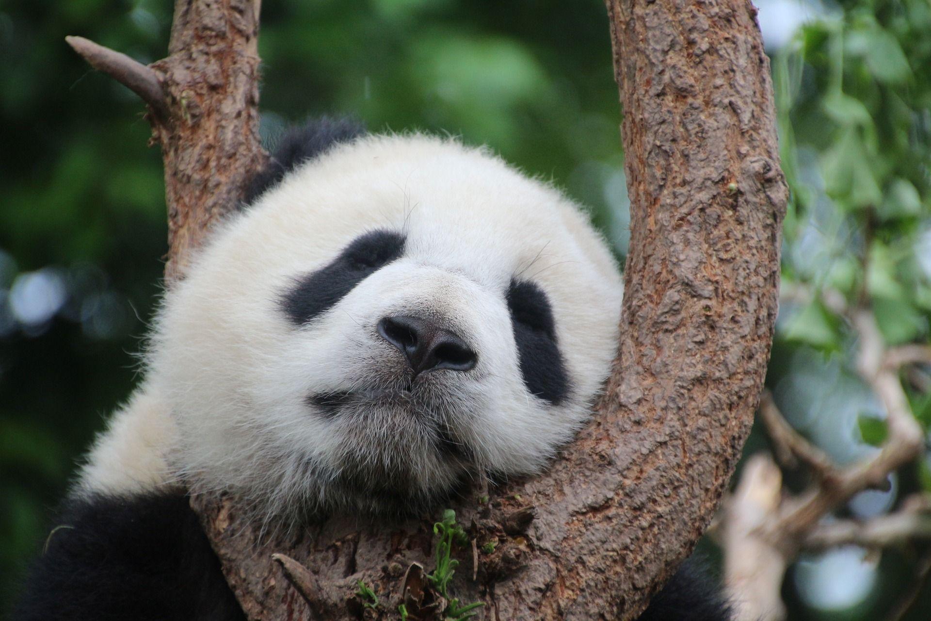 Московский зоопарк отказался от идеи нанять «обнимателя панд»