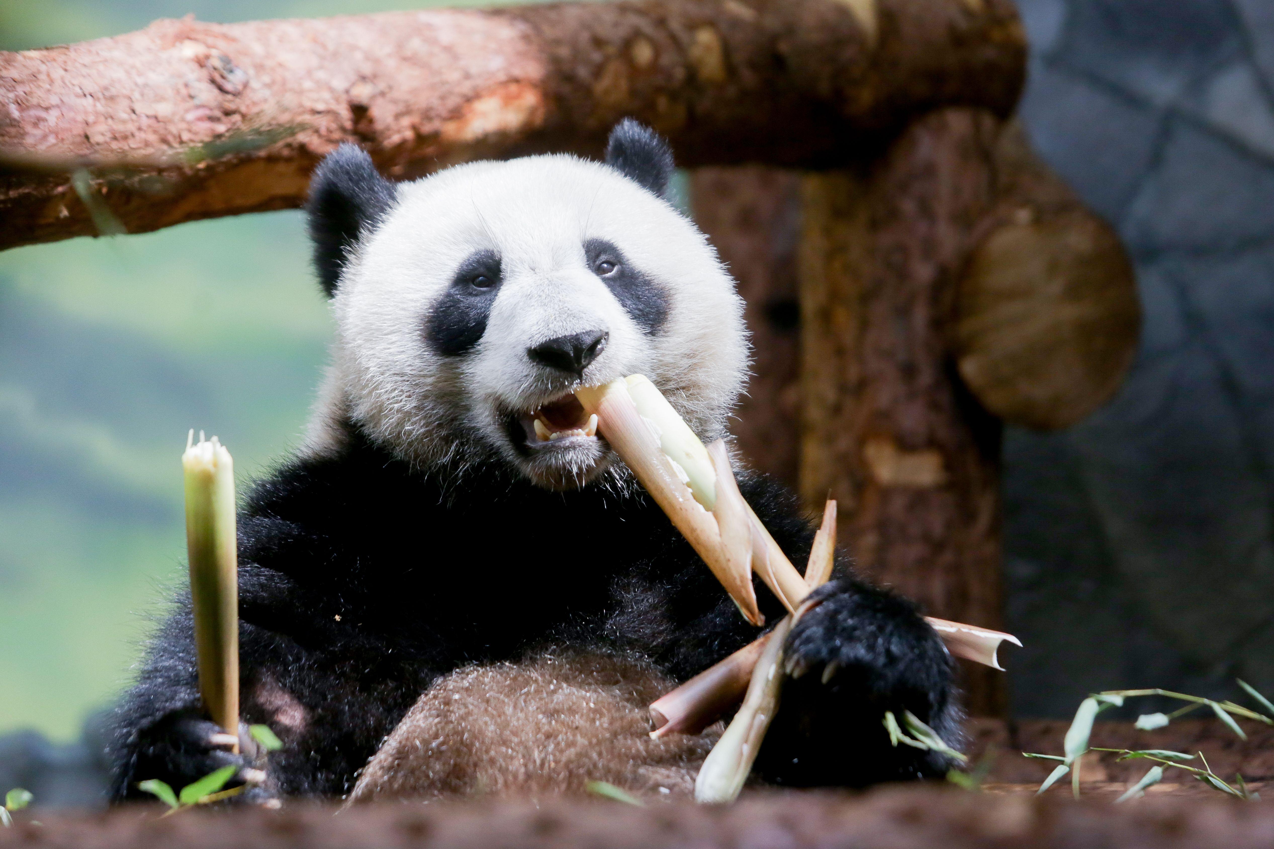 Московский зоопарк пригласил на День рождения больших панд