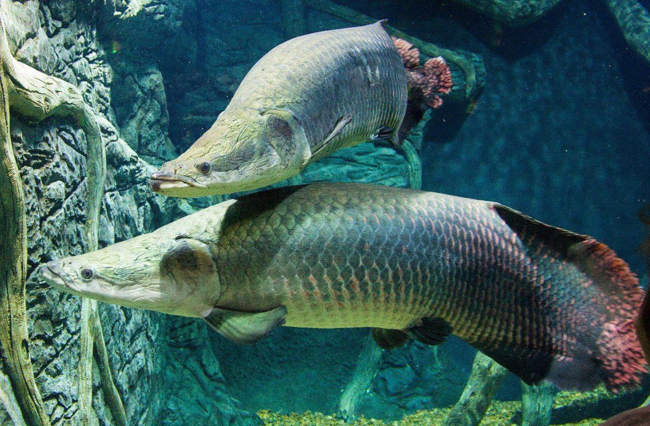 Гигантскую рыбу представили в Дарвиновском музее