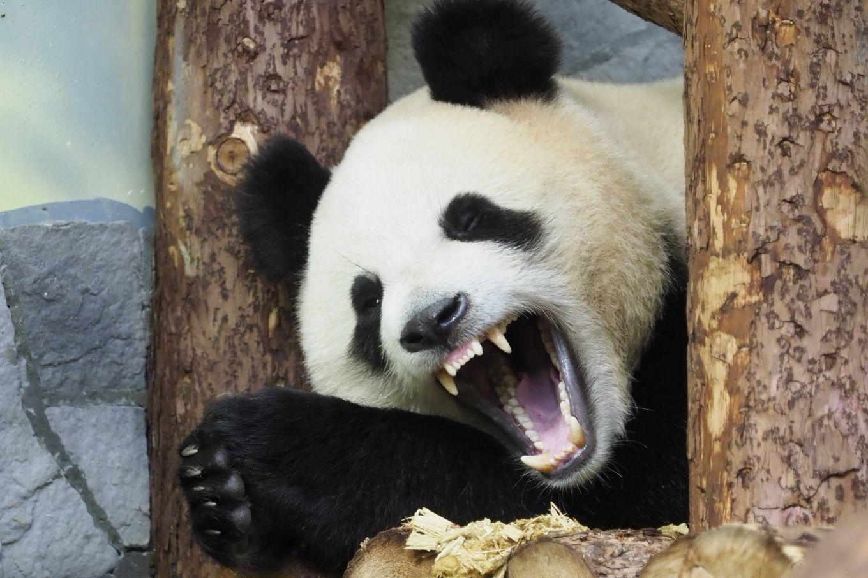 Жизнь панд в Московском зоопарке привлекла 55 тысяч онлайн-зрителей