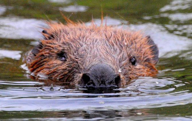 Москвичей призвали не подкармливать диких бобров