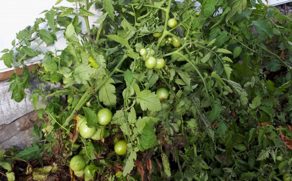 Томаты в Зябликове: народный корреспондент обнаружила урожай возле дома. Фото прислала народный корреспондент Анна Зайцева