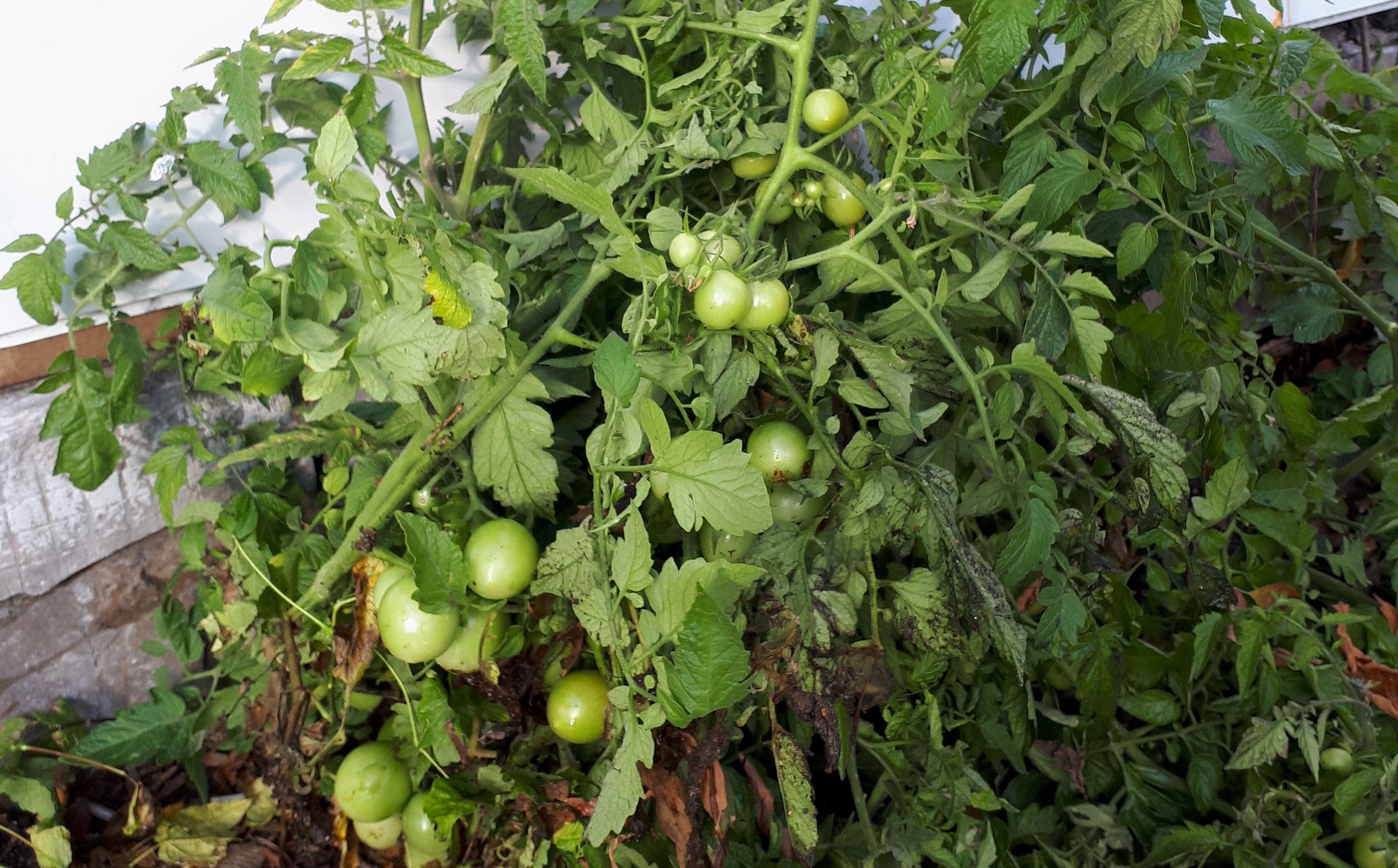 Томаты в Зябликове: народный корреспондент обнаружила урожай возле дома