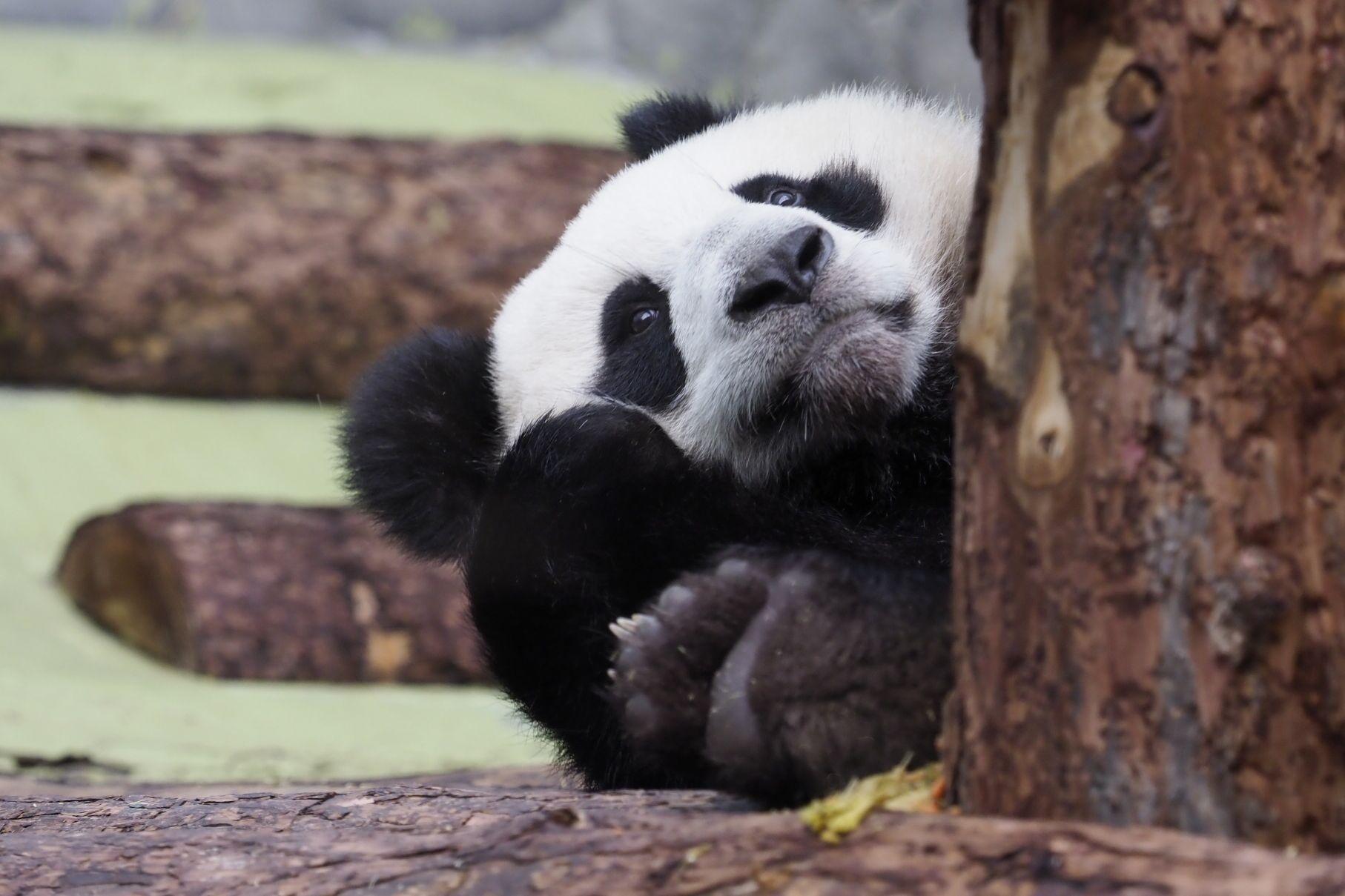 Панда Московского зоопарка получит снежную крепость