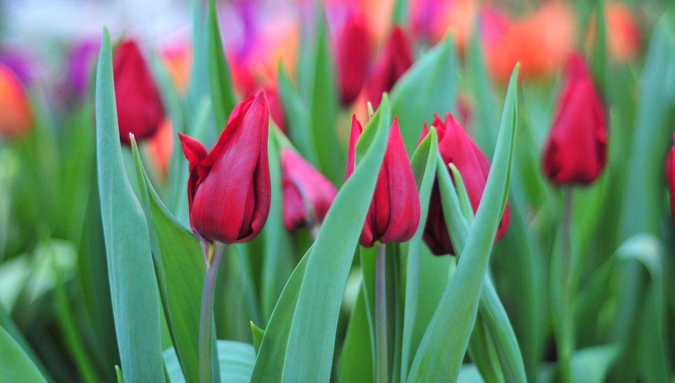 Вдоль Каширского и Варшавского шоссе высадят тюльпаны