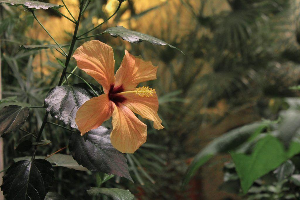 Оранжевый гибискус, растущий в оранжерее. Фото: Мария Канина