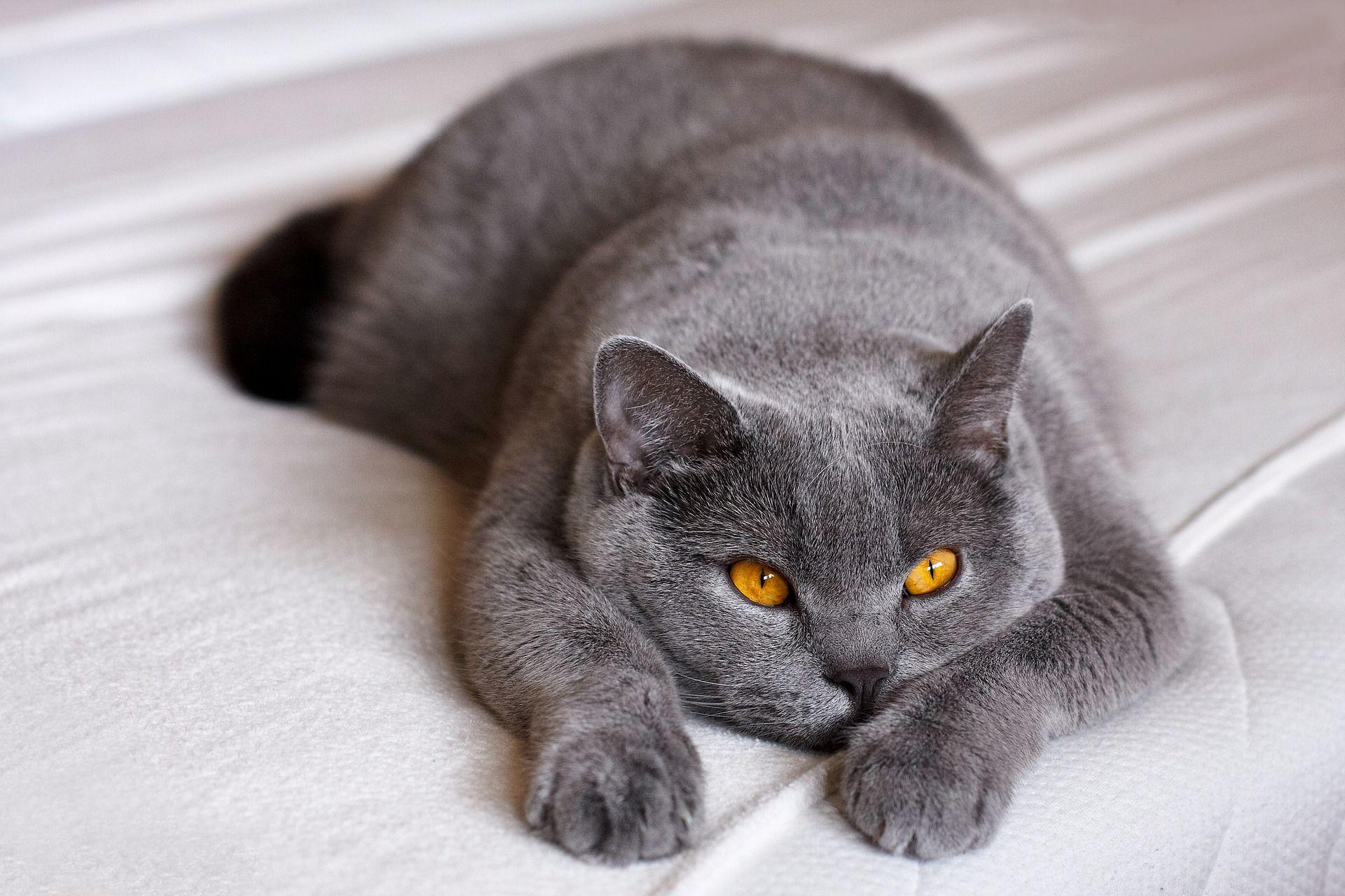 Владельцы британских кошек чаще других записывались к ветеринару