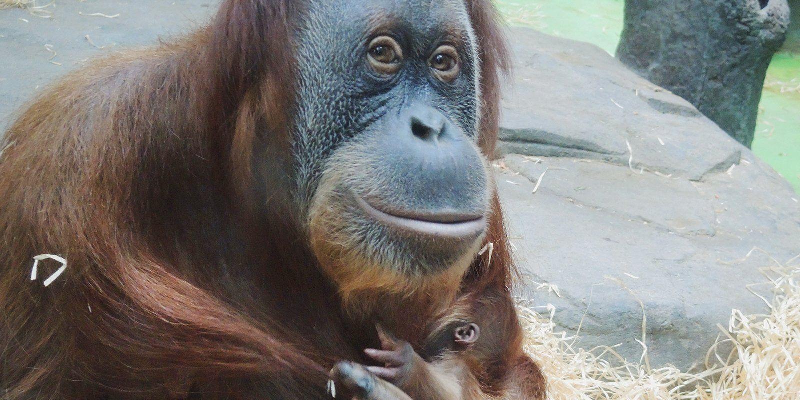 Редкий орангутан родился в зоопарке Москвы