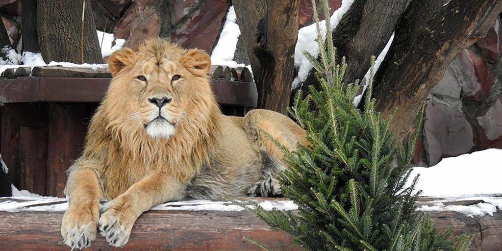 Московский зоопарк принял 1,5 тысячи нераспроданных елей
