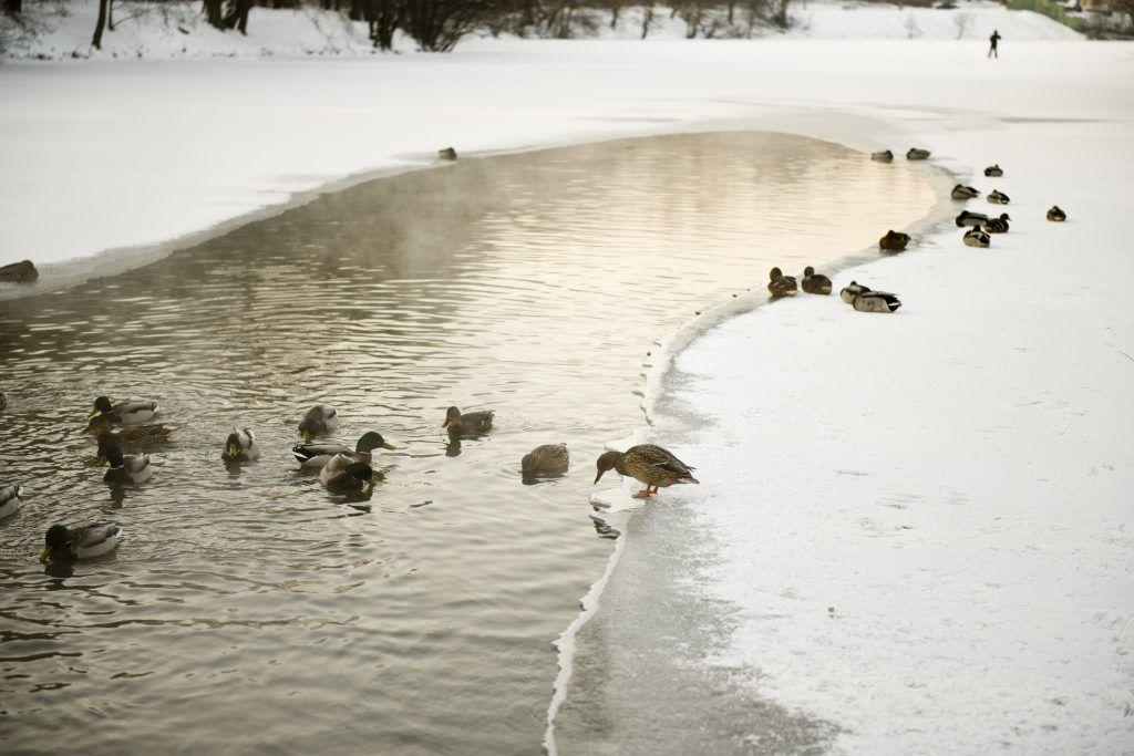 Зимний учет водоплавающих птиц проведут на водоемах Москвы