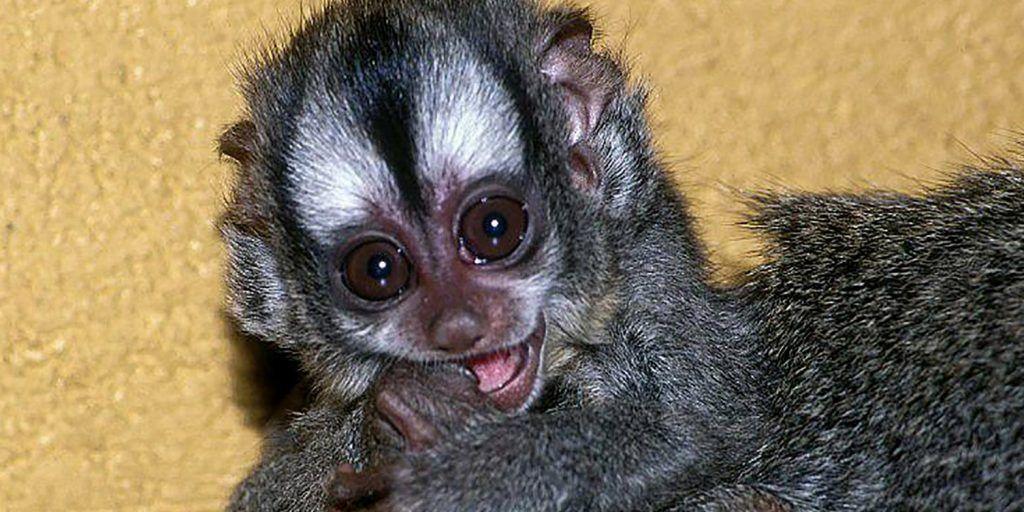 В зоопарке Москвы впервые родился детеныш боливийских ночных обезьян