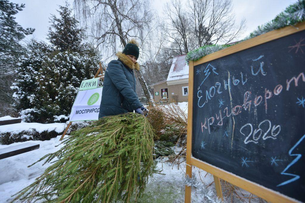 Москвичи сдали рекордное число новогодних елей на переработку