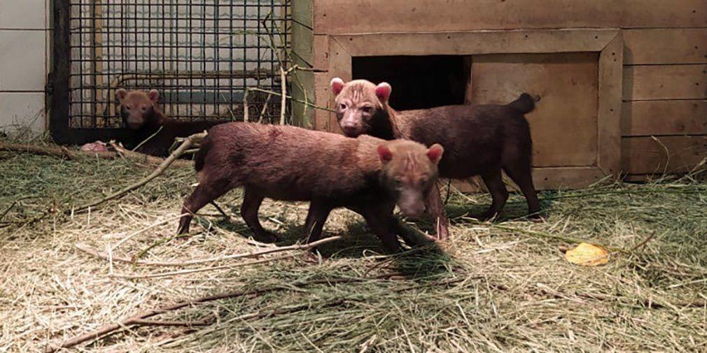 Щенки кустарниковой собаки впервые родились в Московском зоопарке
