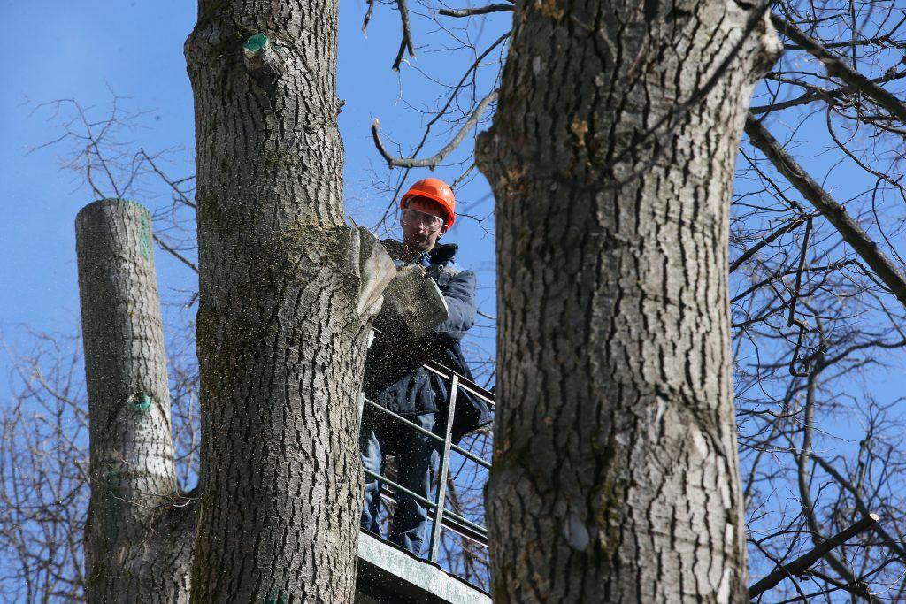 Работы по кронированию деревьев стартовали в столице
