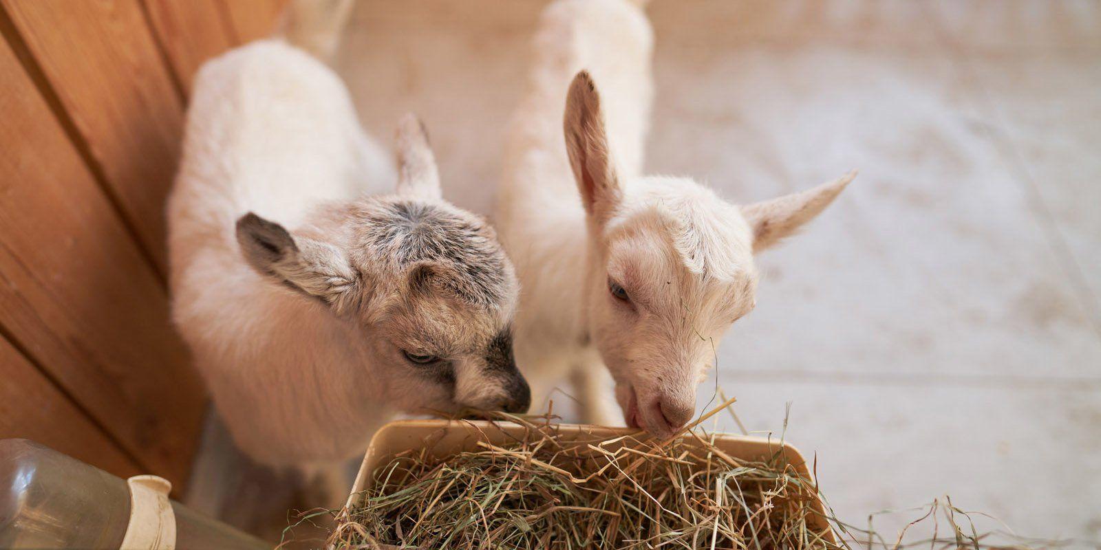 Москвичи назвали новорожденных козлят на ферме ВДНХ «космическими» именами