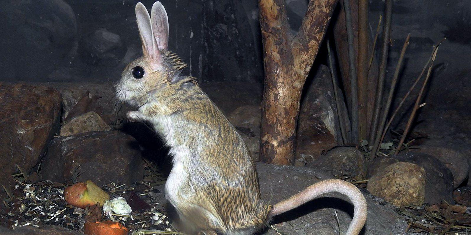 Тушканчиков Московского зоопарка разбудили после зимовки в холодильниках
