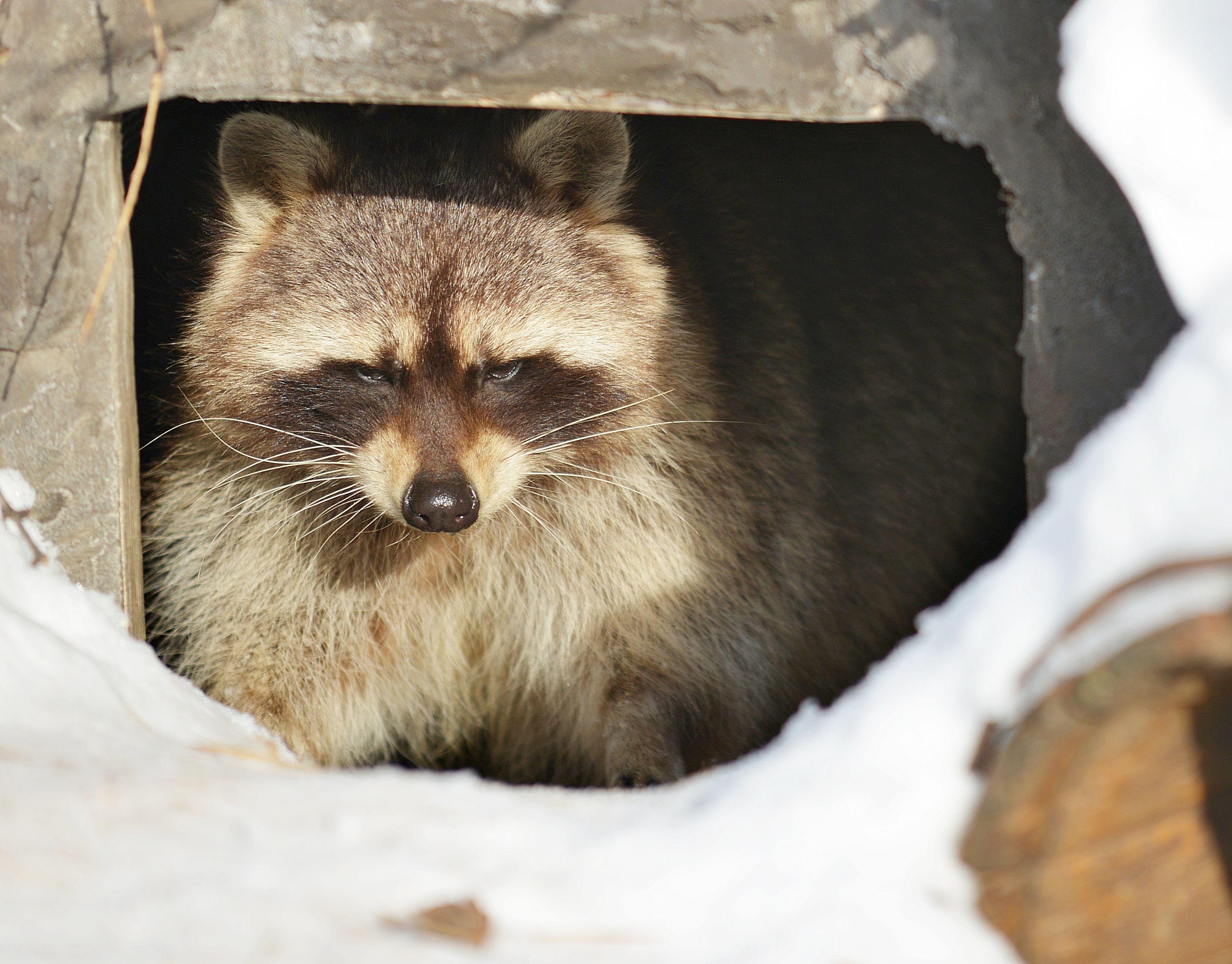 Еноты Московского зоопарка вышли из зимнего сна