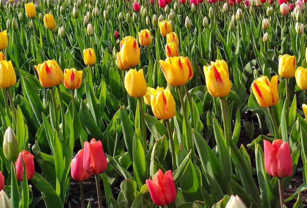 Почти Голландия: тюльпанами украсили Орехово-Борисово Южное