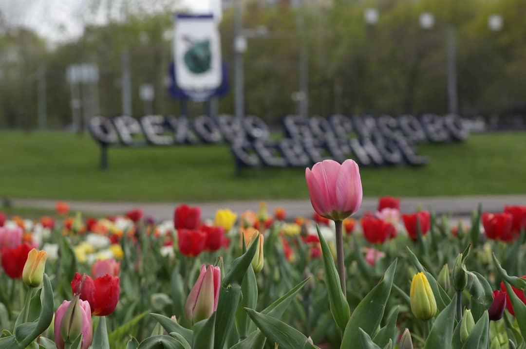 Молодые клены и тюльпаны: народный корреспондент поделился весенними снимками Орехова-Борисова Северного