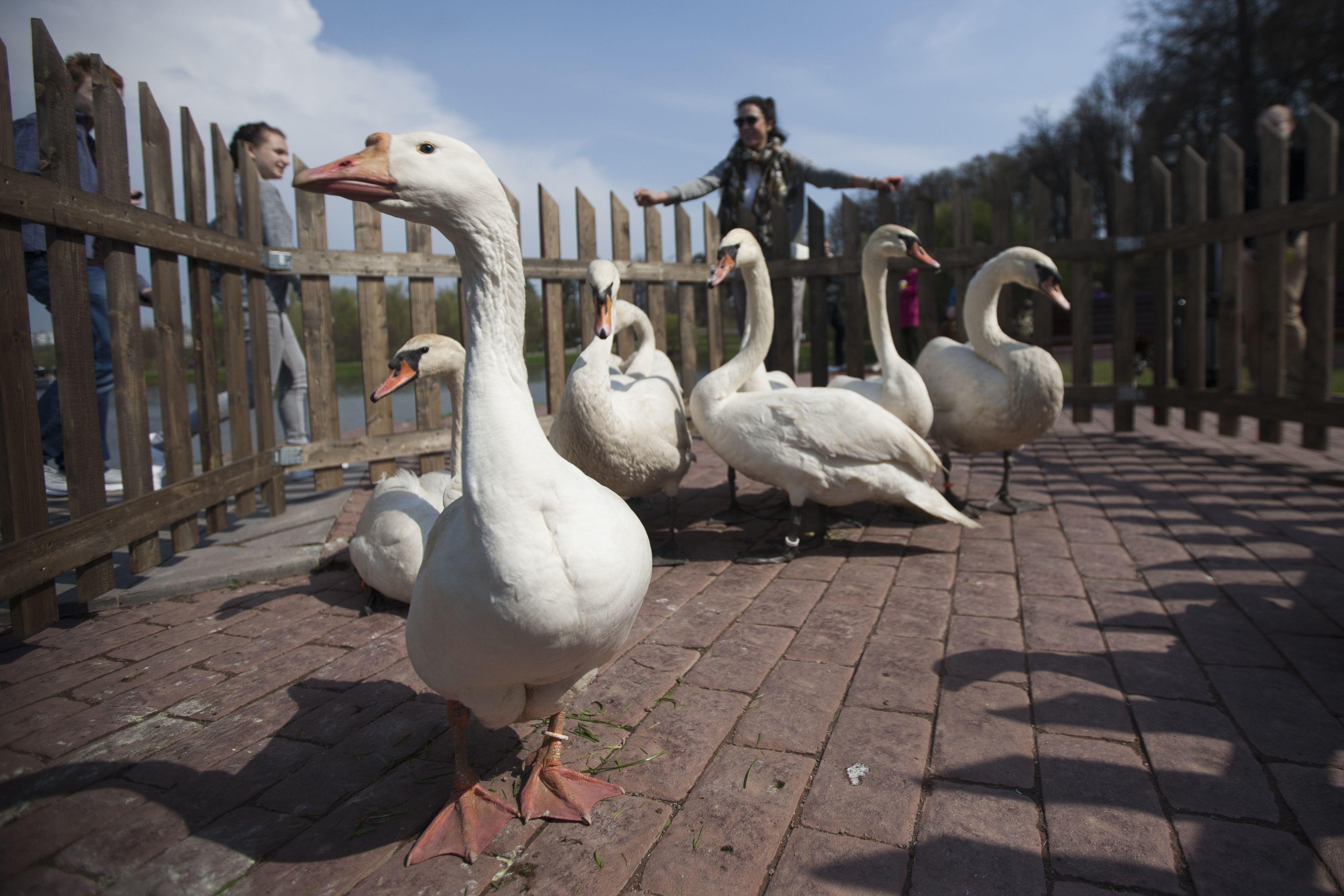 Лебеди-шипуны и индийские бегуны вернутся на Царицынские пруды