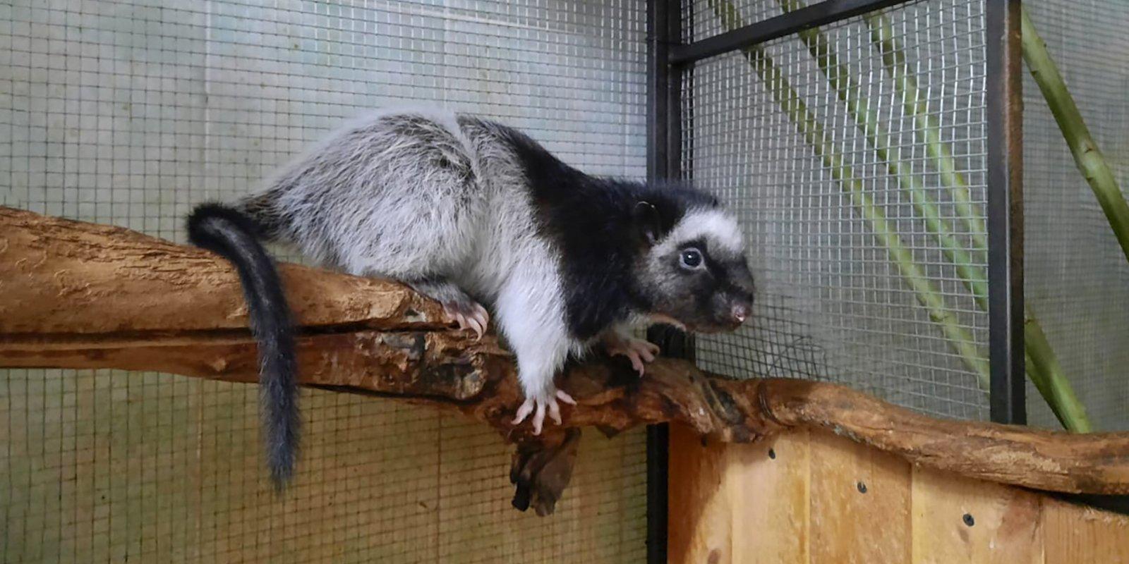 Детеныш филиппинской дымчатой крысы родился в зоопарке Москвы