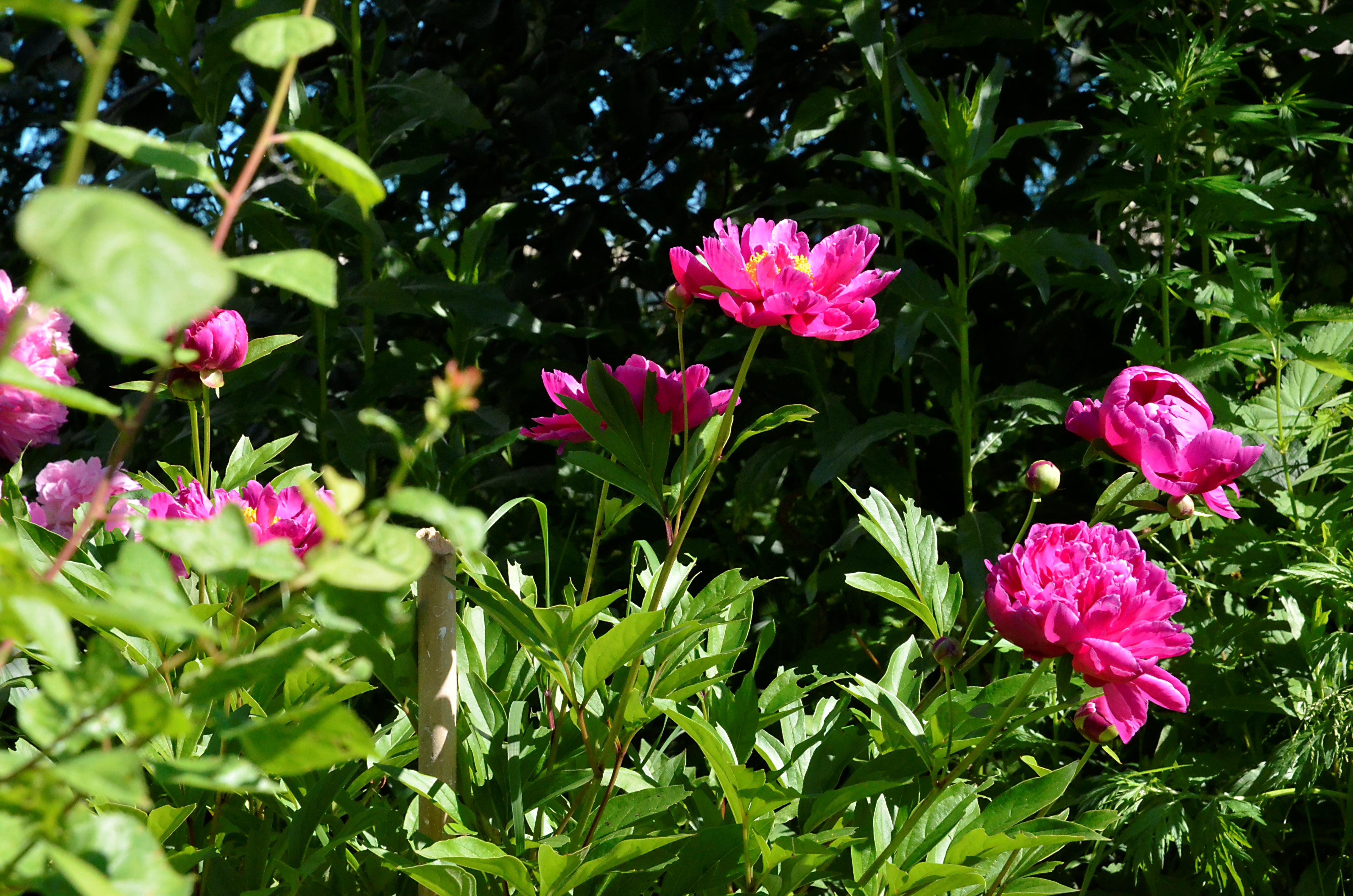 Пионами и розами украсят улицы столицы