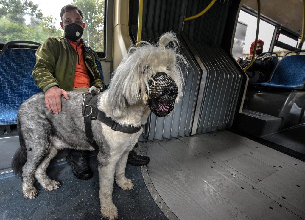 3 августа 2020 года. Павел Попонов и бобтейл Етти Гектор едут на автобусе на прогулку. Фото: Пелагия Замятина