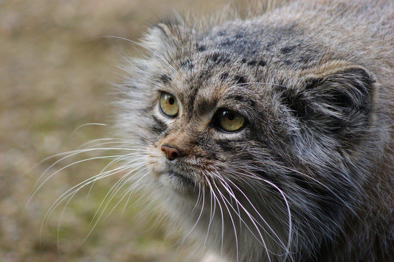 Манул Тимофей стал талисманом Московского зоопарка