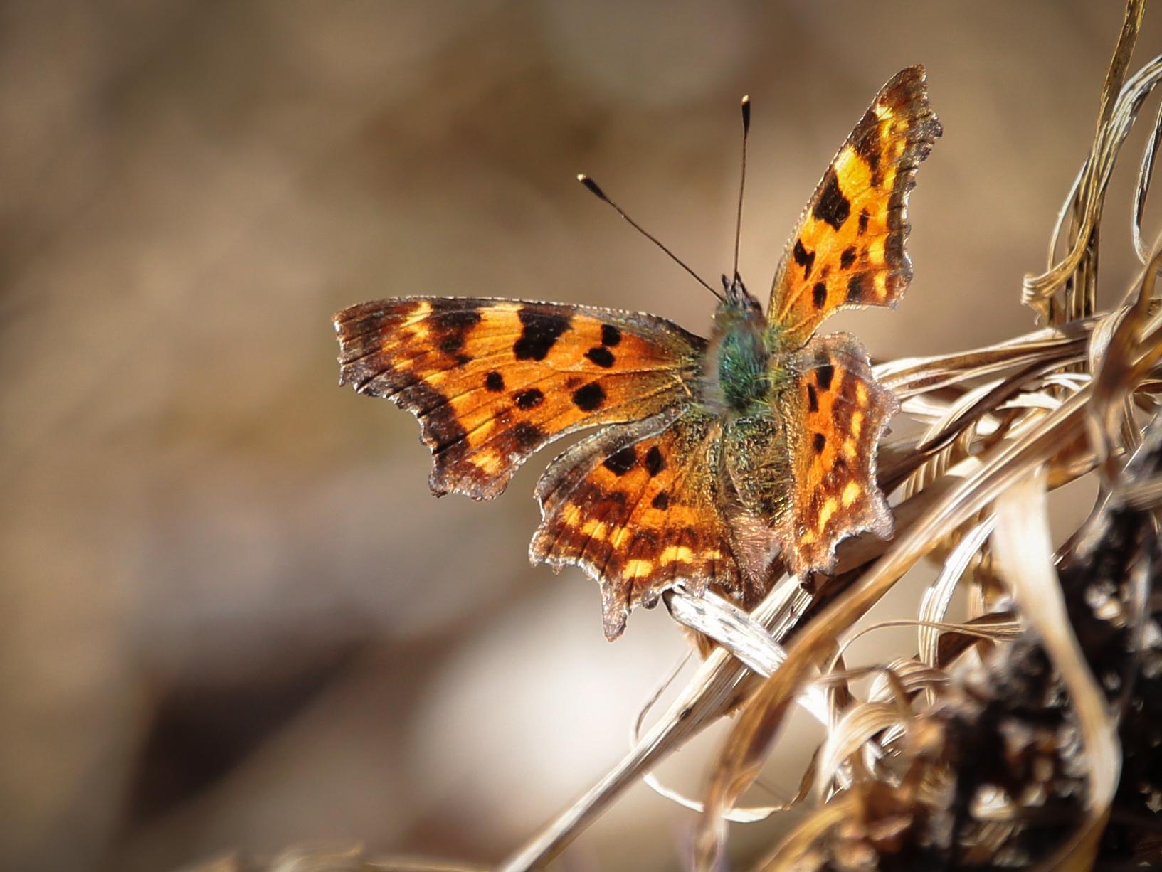 Ленточник Камилла и боярышницы: москвичам рассказали о столичных бабочках