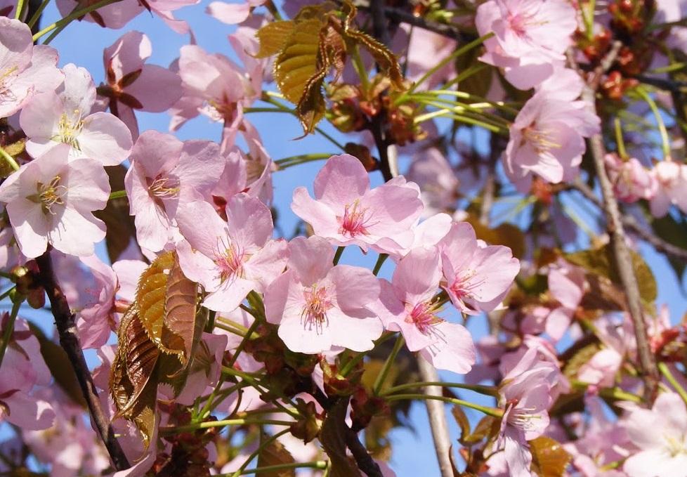 Частичка Японии: в Бирюлеве отметят десять лет со дня открытия «Рощи Сакуры»