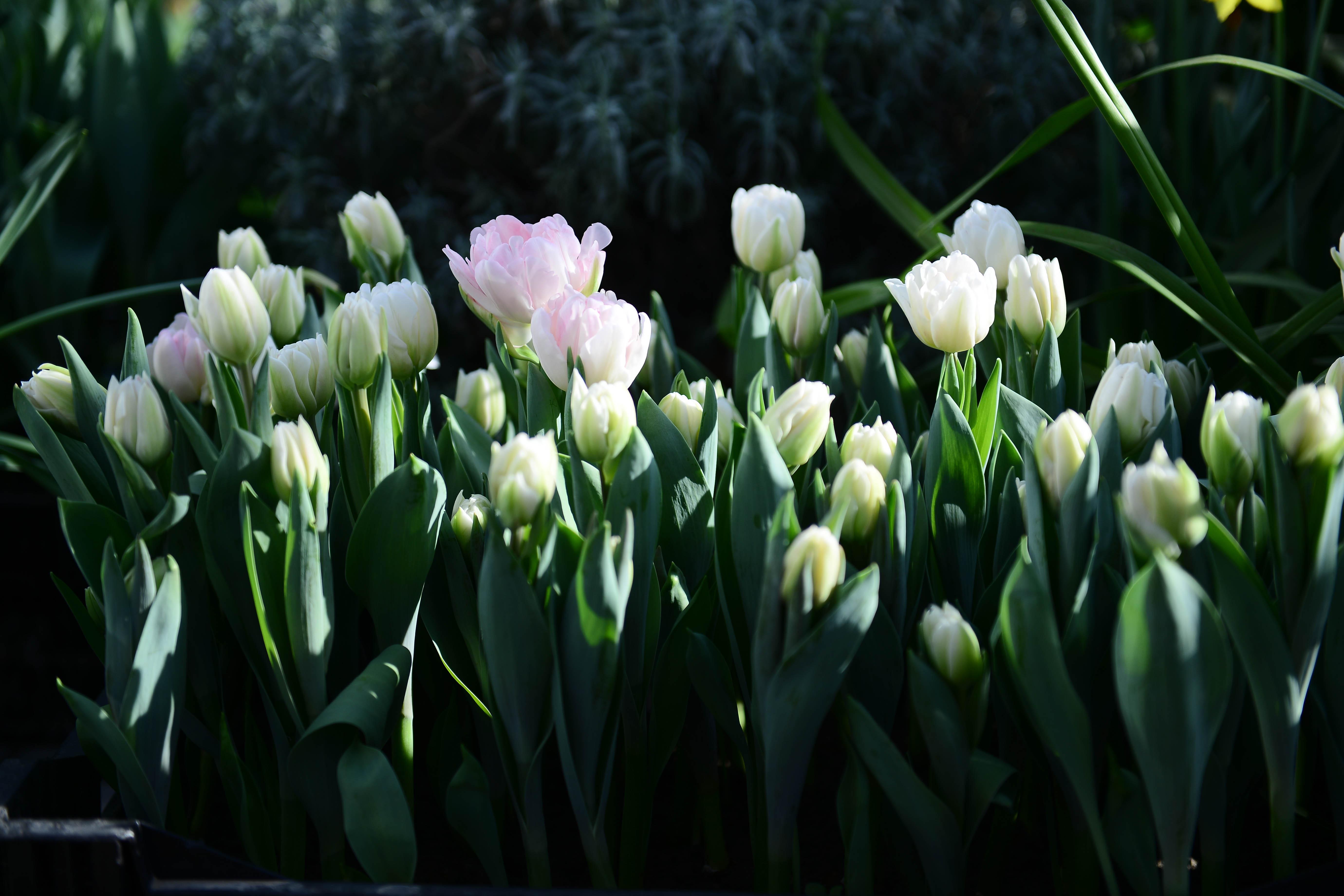 Осенью в Москве высадят свыше 12 миллионов тюльпанов
