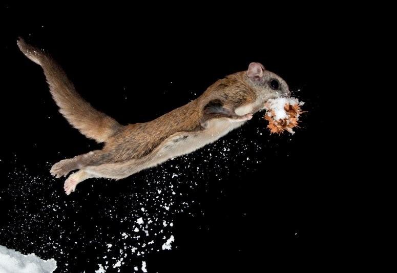 Онлайн-выставку о животных-планеристах представят в Дарвиновском музее