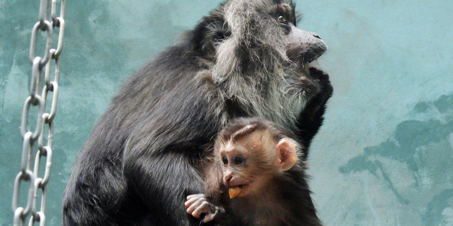 В зоопарке Москвы родился второй за год детеныш львинохвостой макаки
