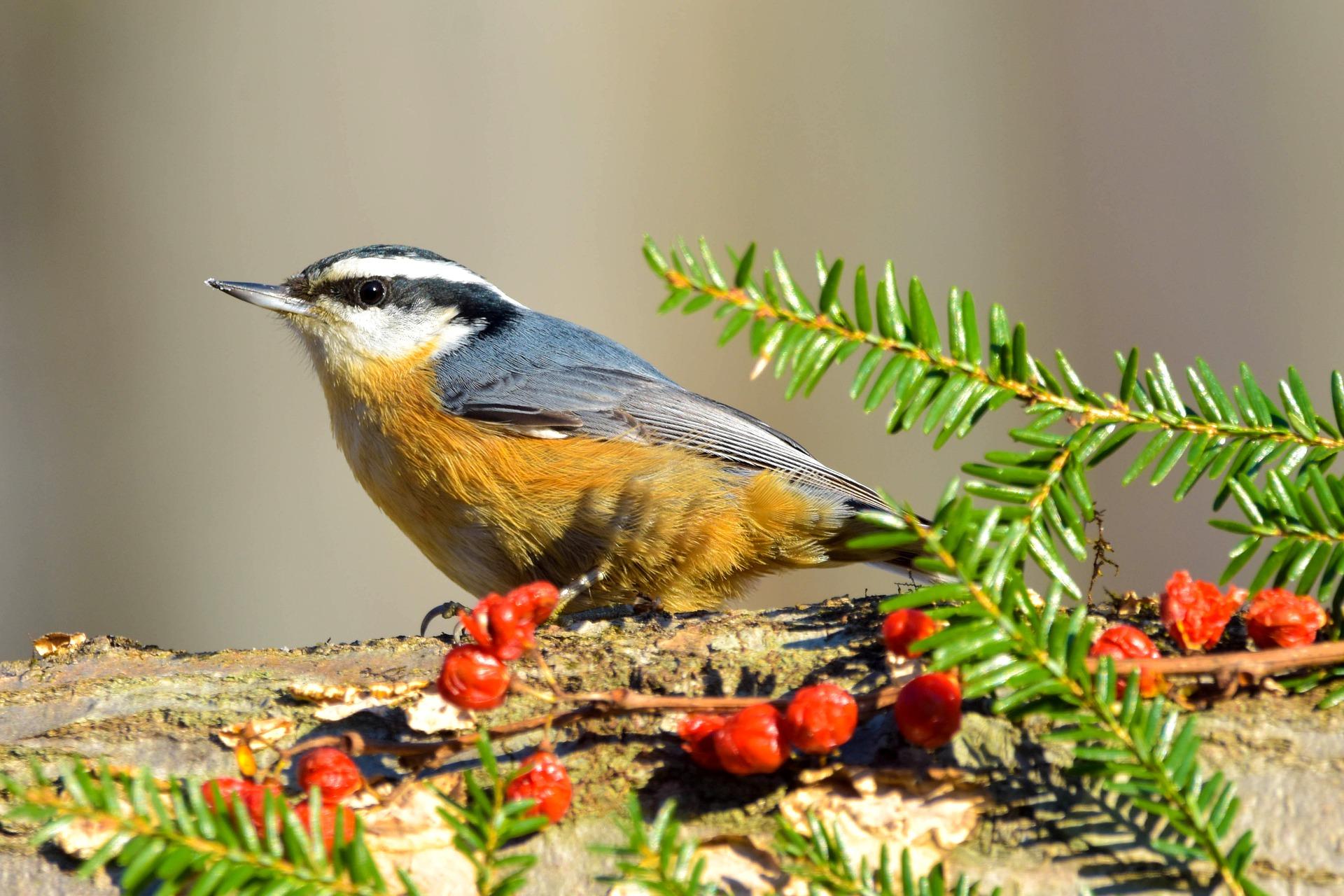 Птицы-древолазы: жителям юга рассказали о поползнях и пищухах