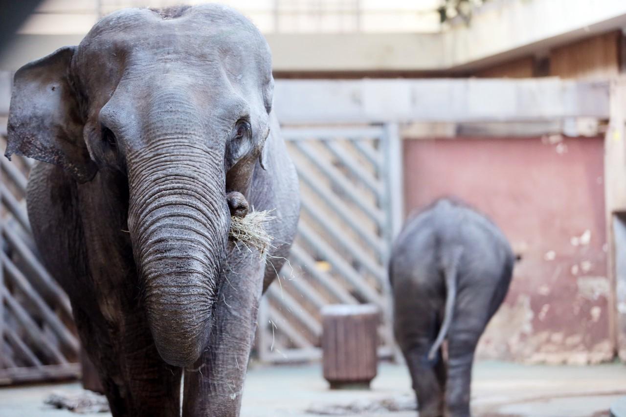 Московский зоопарк соберет новогодние елки на корм слонам