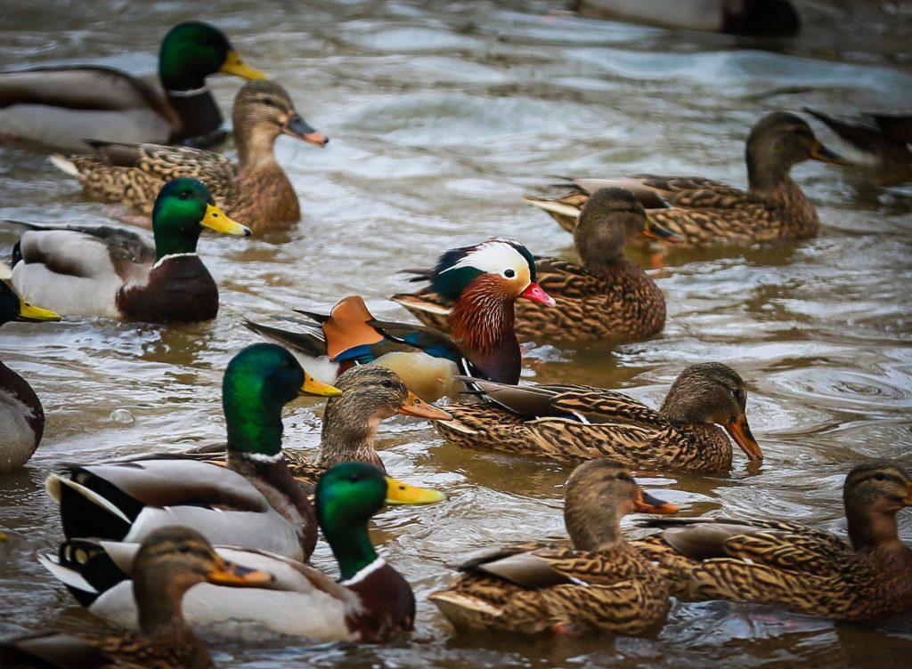 Водоплавающих птиц пересчитают на природных территориях юга. Фото: пресс-служба Мосприроды