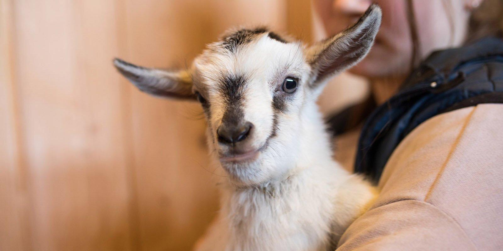 Москвичи выберут имена родившимся на «Городской ферме» животным