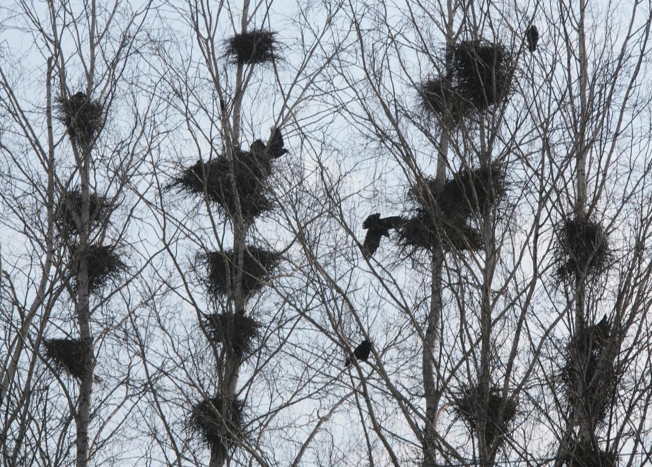 Птицы в Москве начали вить гнезда