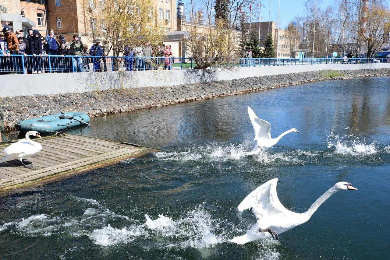 Лебеди стали возвращаться на московские водоемы