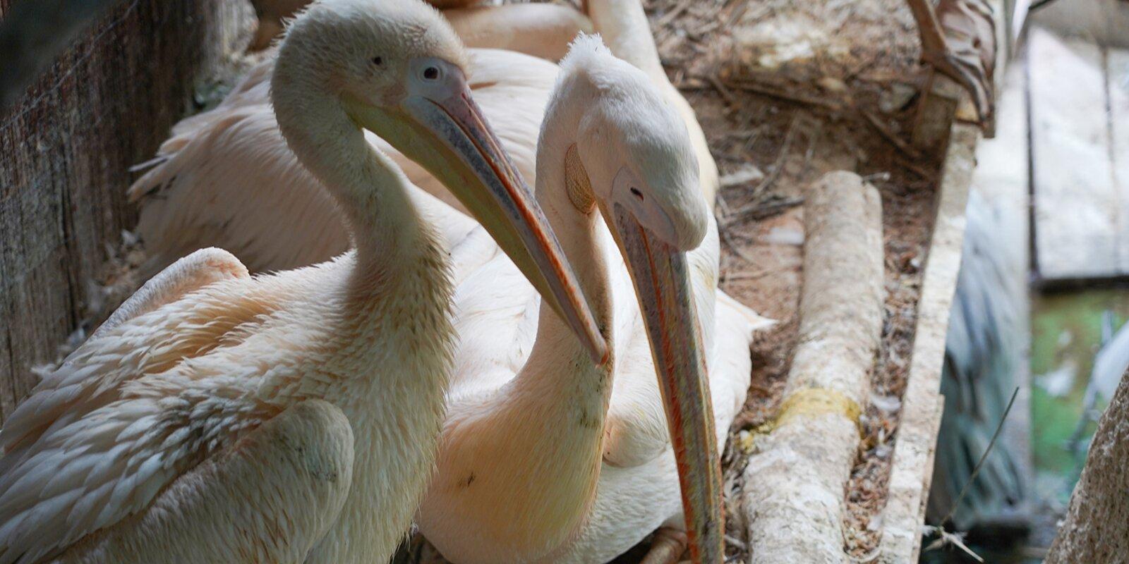 Редкие кудрявые пеликаны родились в Московском зоопарке