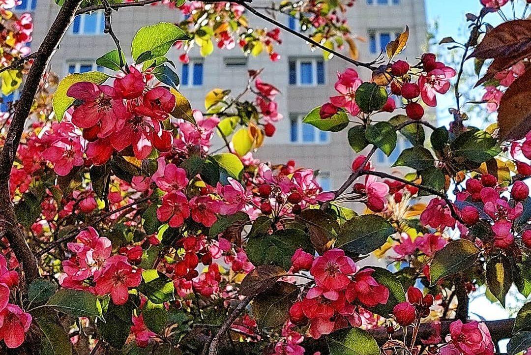 Яблонив цвету, весны творенье